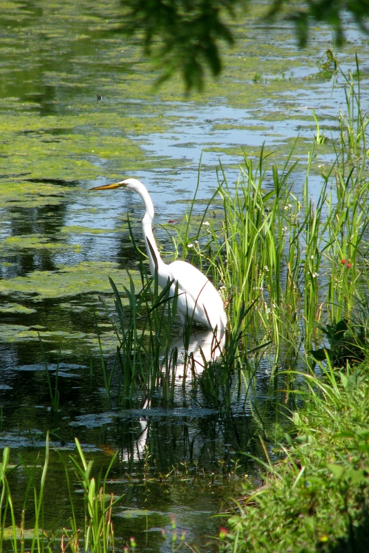Egret In Stream
