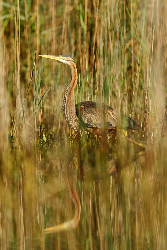 Purple Heron In Sunrise