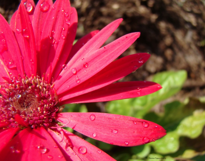 A Pink Flower With Dew