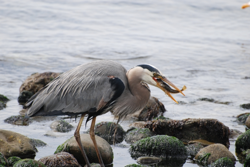 Great Blue Heron Breakfast