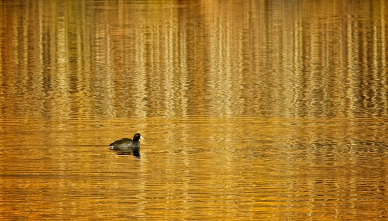 Duck On Aspens Reflecting