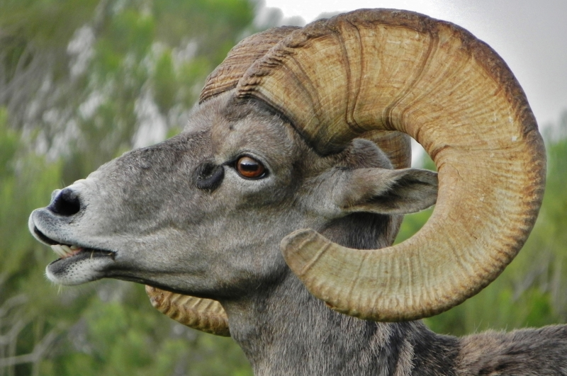 Close-up Of A Rocky Mountain Big Horn Sheep