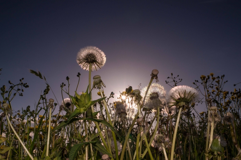 Dandelion In Sundown