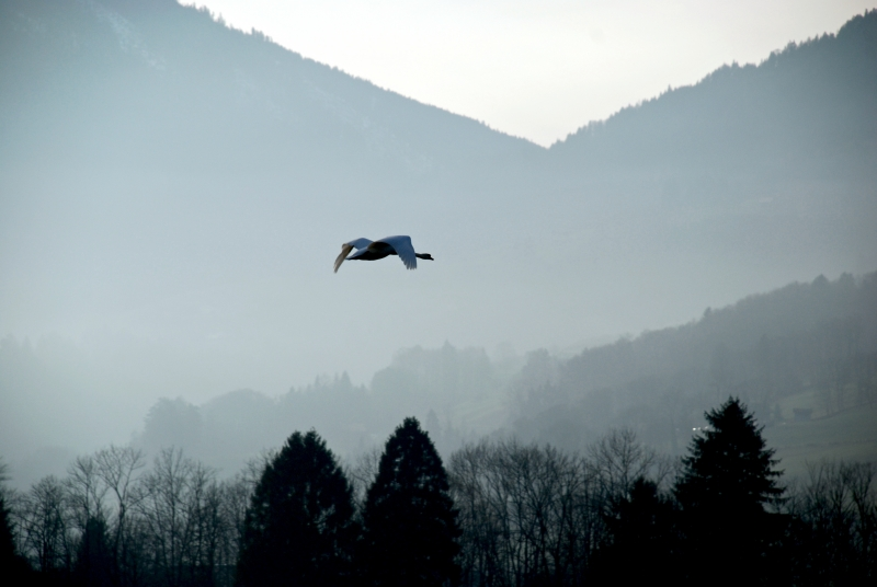 Swan Flying Towards The Swiss Alps