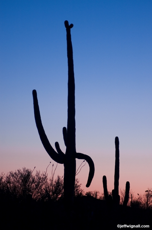 Giant Saguaro, Twlight