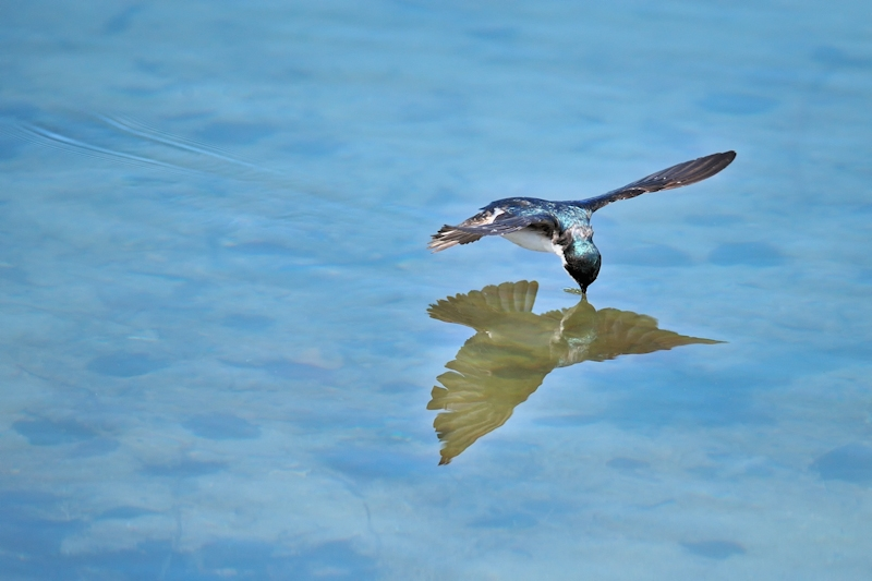 Tree Swallow Drinking