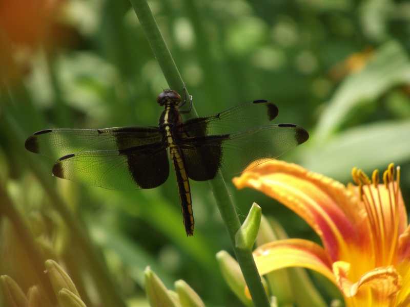 Dragonfly In The Day Lillies