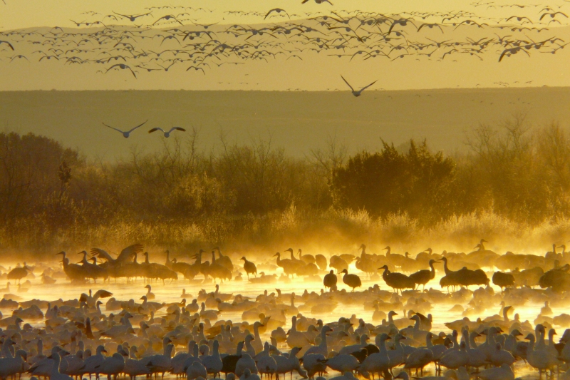 Sunrise Snowgeese And Sandhill Cranes