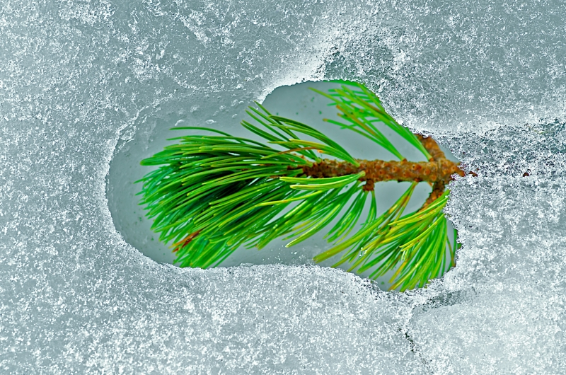 Pine Branch In Thawing Ice