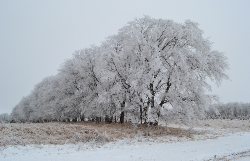 Row Of Frosted Trees