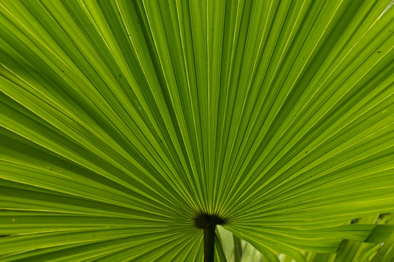 Fan Palm (trachycarpus Fortunei)
