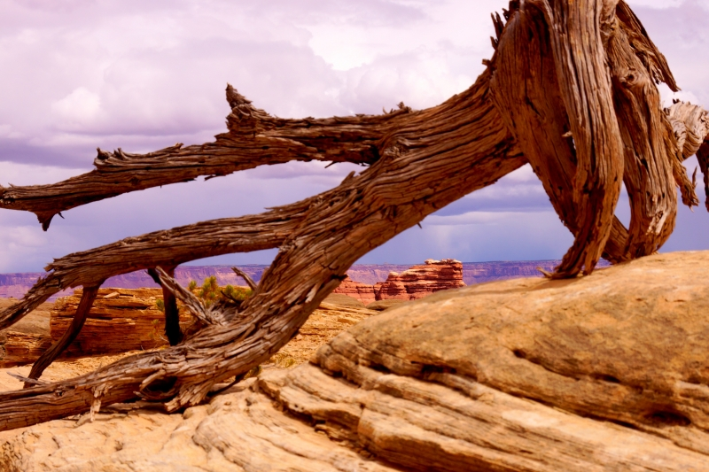 Fallen Tree In Canyonlands