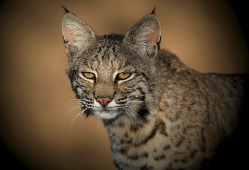 South Texas Bobcat