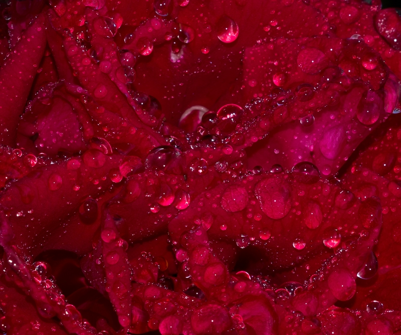 Dew Drops Overpowering A Rose