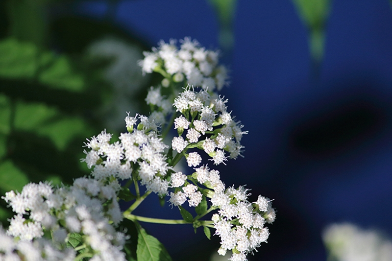 White Flowers On The River