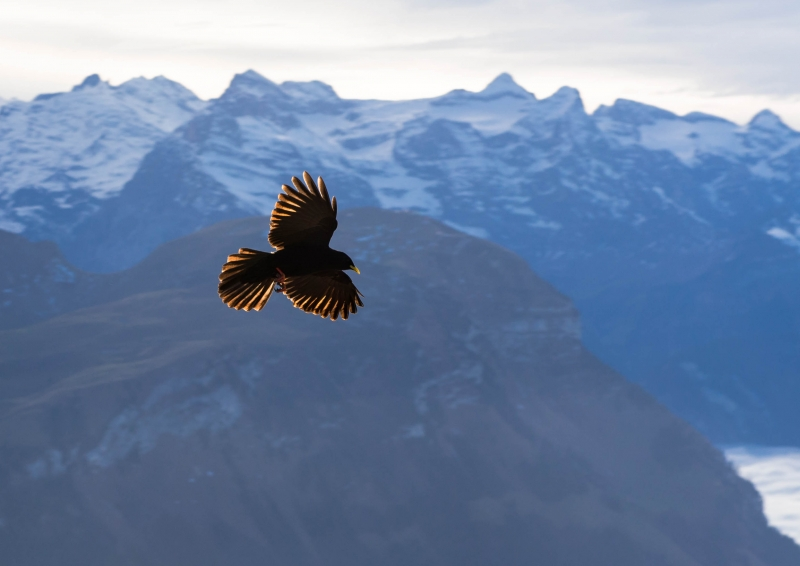 Black Crow In The Swiss Alps