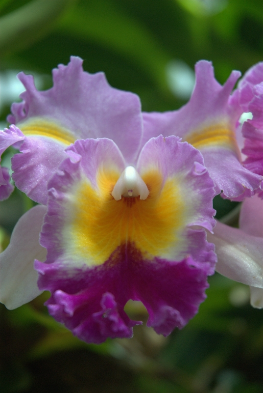 Orchid, Selby Gardens