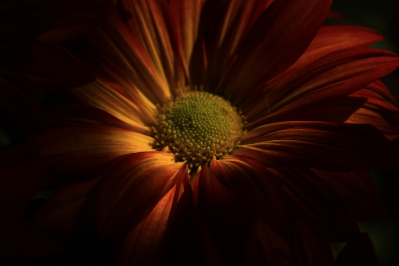 Orange Daisy In Shadows