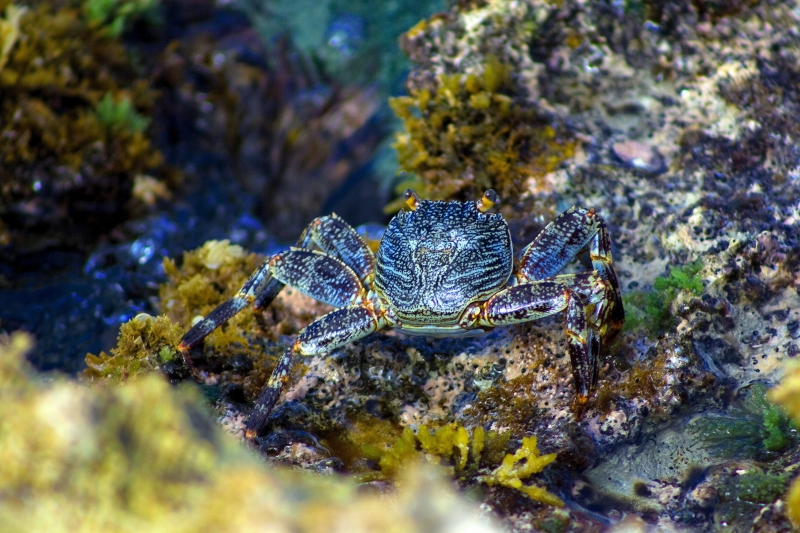 Blue Crab Hiding In The Rocks