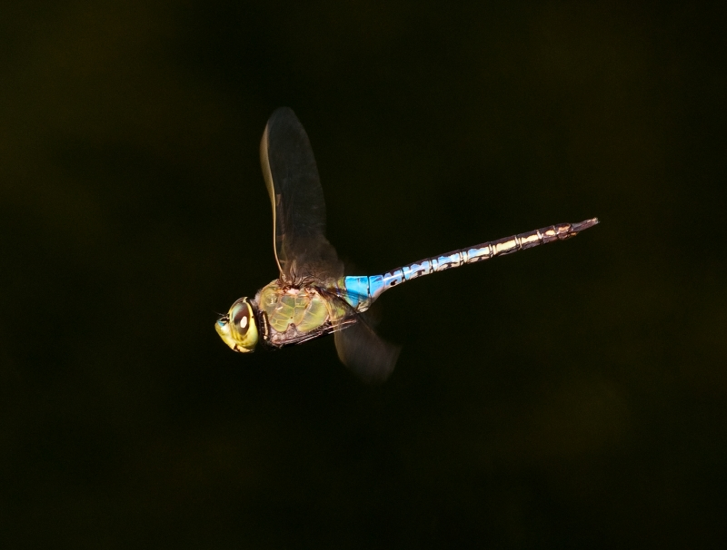 Anax Junius In Flight Broadside