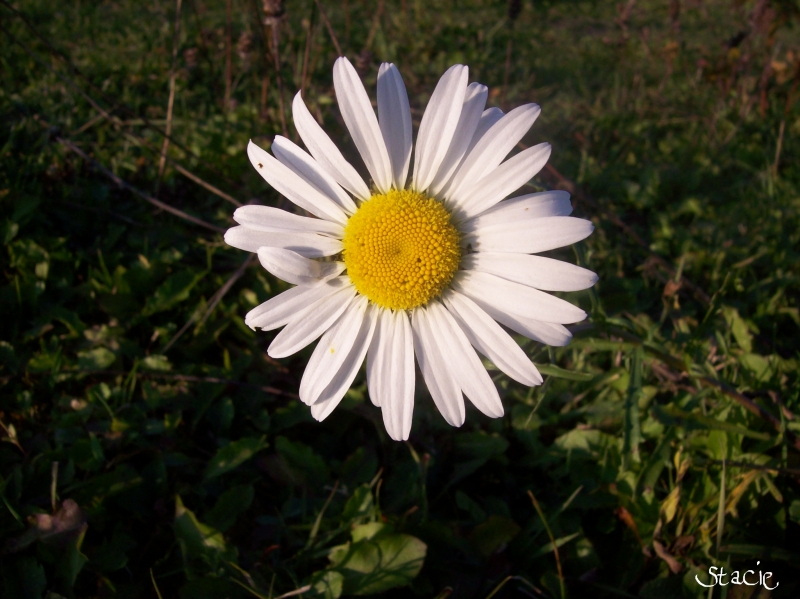 Dandy Of A Daisy