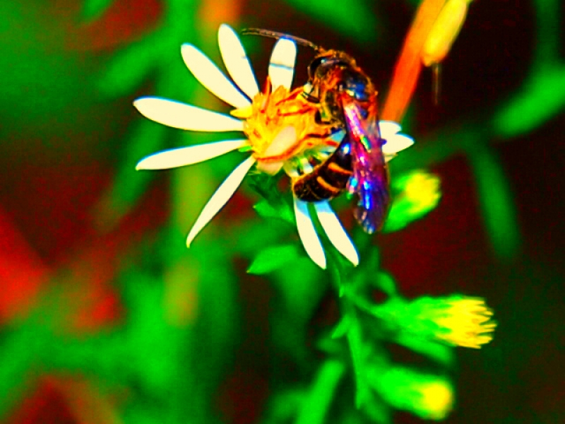 Colorful Iradecent Bee