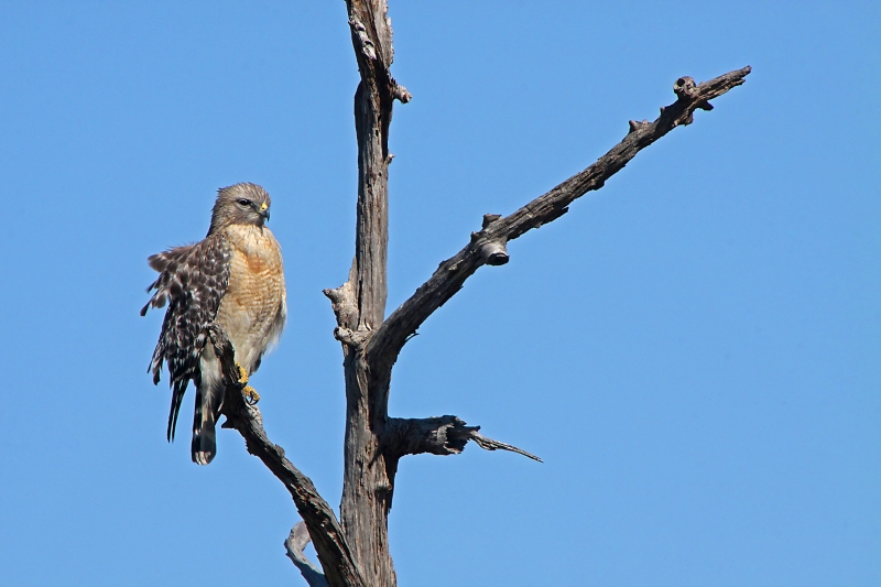 Red-shouldered Hawk In The Wind