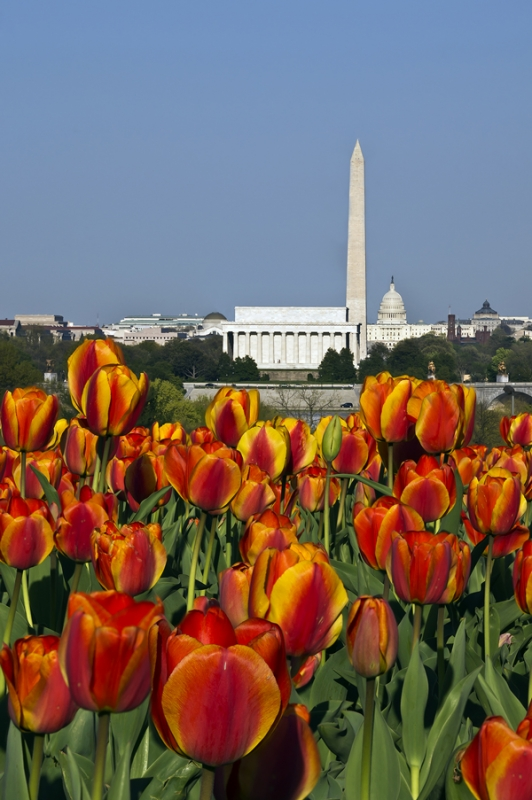 Tulips And The National Mall