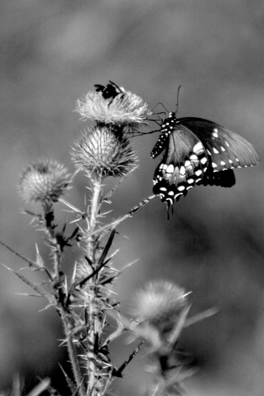 Sharing A Thistle