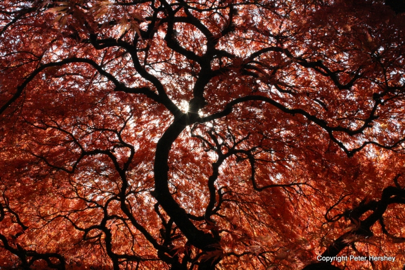 Japanese Maple Silhouette