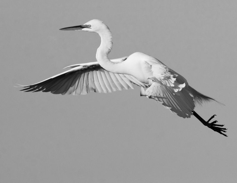 Great Black And White Egret