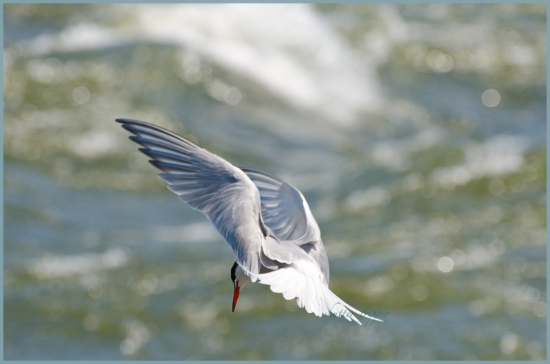 Arctic Tern Gone Fishing