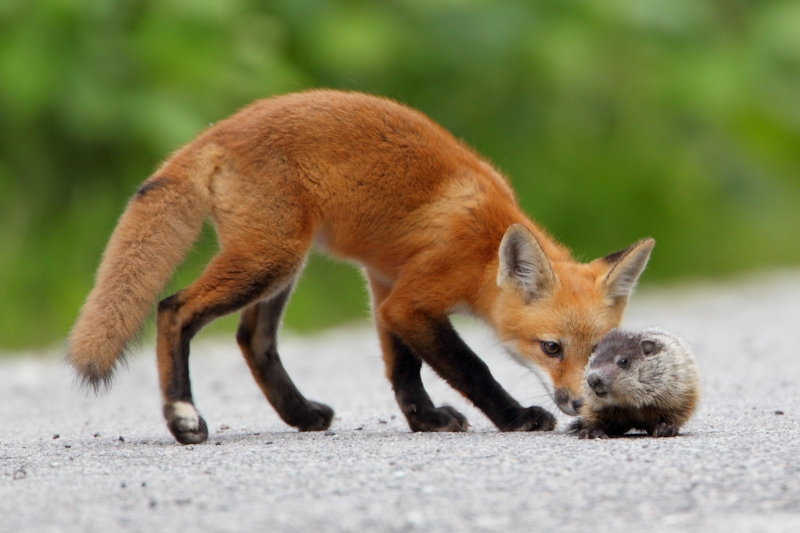 Red Fox Kit And Baby Groundhog