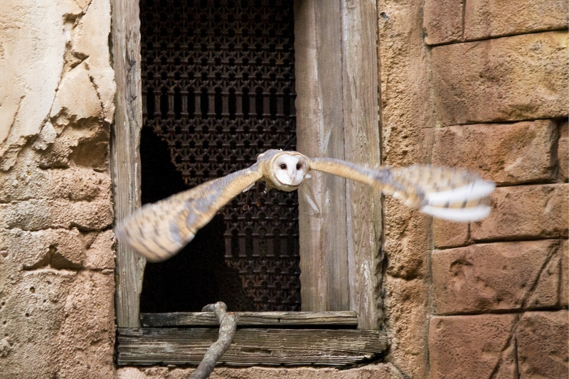 Barn Owl, Florida