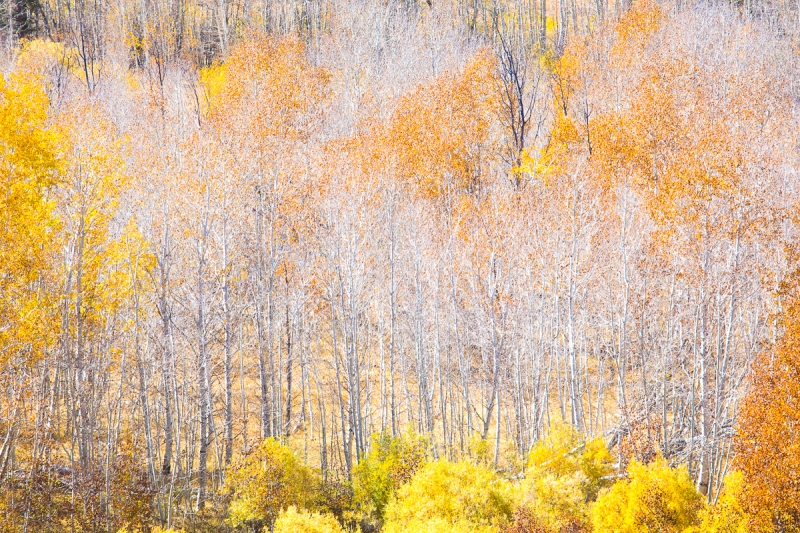 Illuminated White Aspen