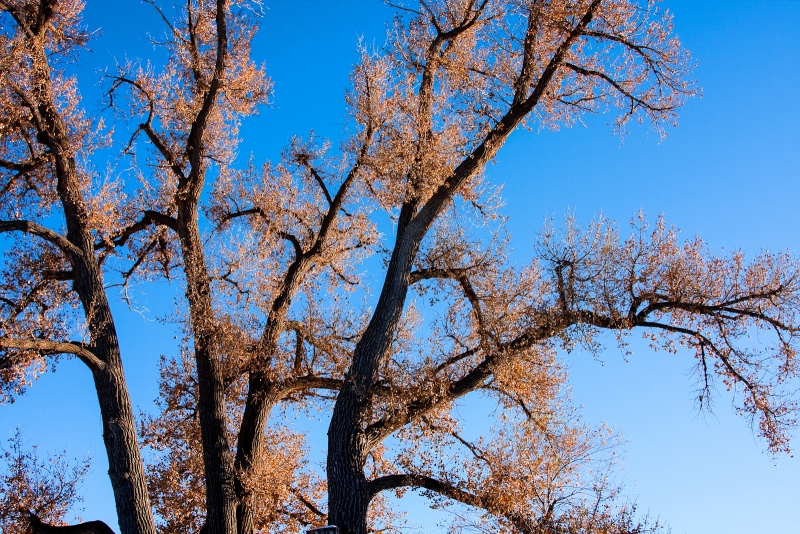 Autumn Cottonwoods Against Blue Sky