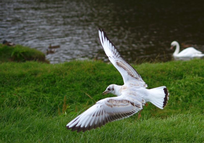 Seagul By The River Coquet