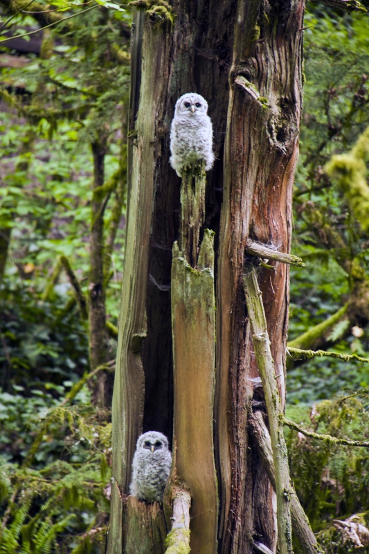 Two Barred Owl Chicks