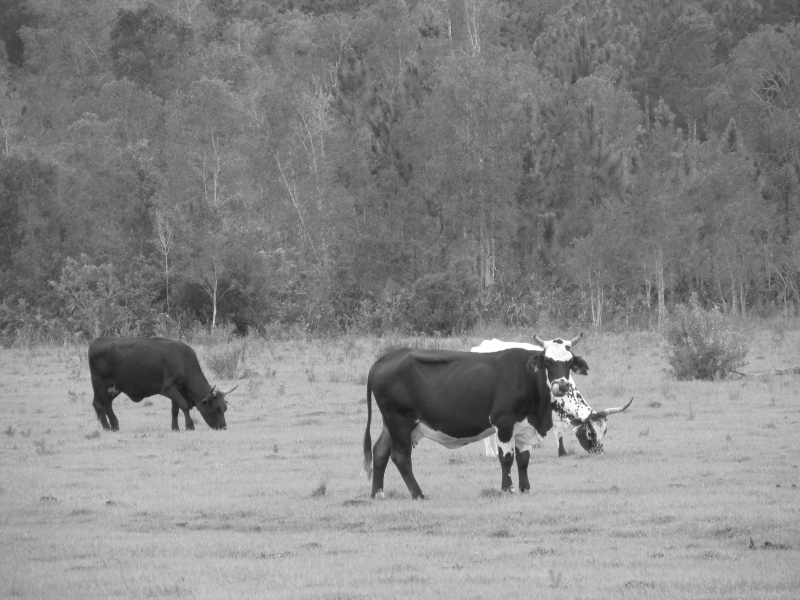 Field Of Cows In Black And White
