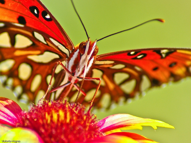 Gulf Fritillary On Blanket Flower