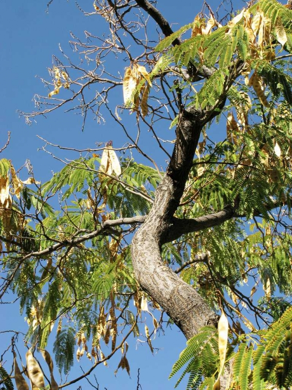 Mesquite Tree Seed Pods