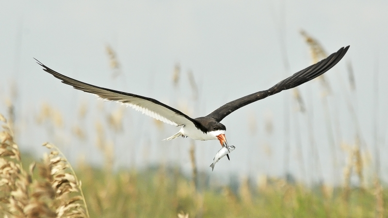 Skimmer With Fish For Young