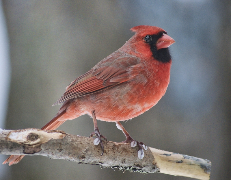 Cardinal With Frozen Claws