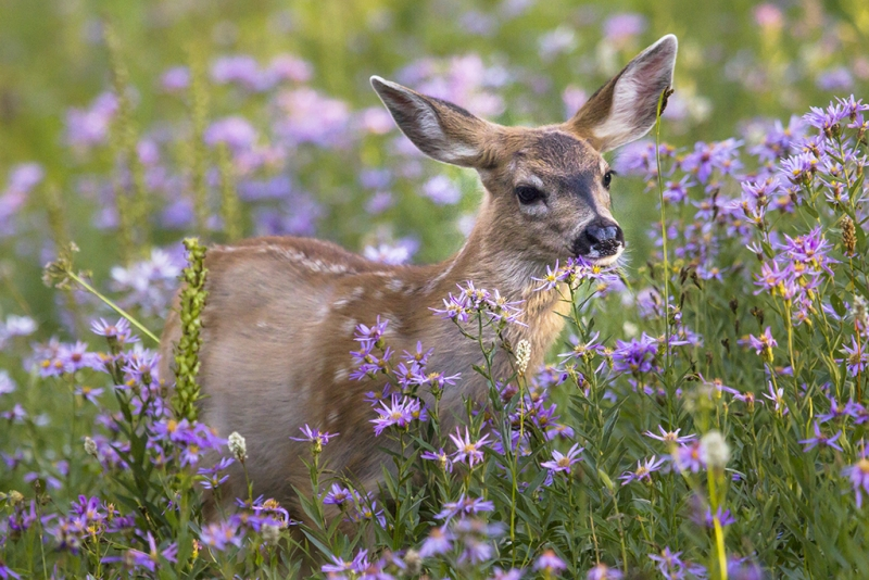 Fawn In Asters
