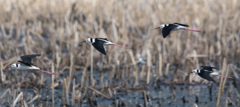Black-winged Stilt Fly-past