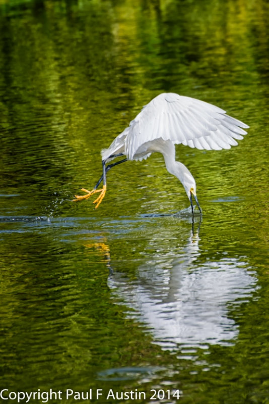 Snowy Egret Fishing On The Fly