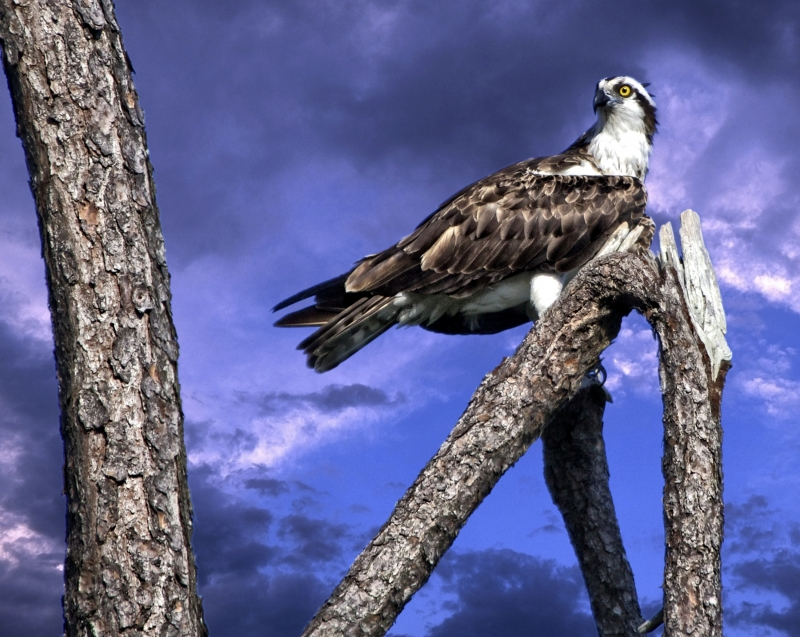Osprey In A Dead Tree
