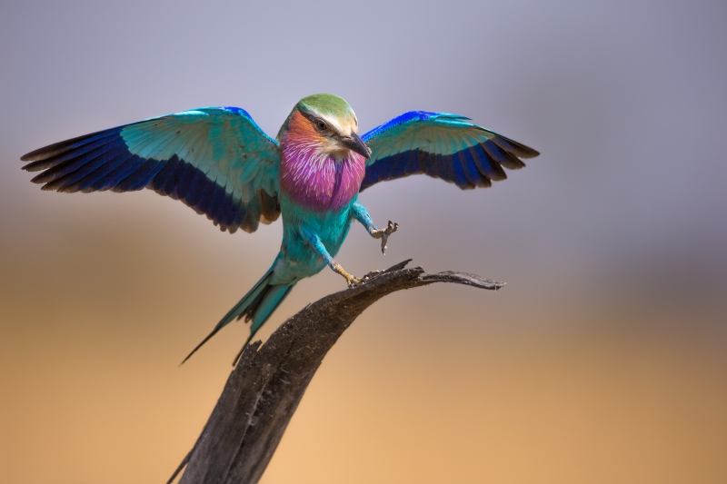 Lilac-breasted Roller And Unwilling Passenger