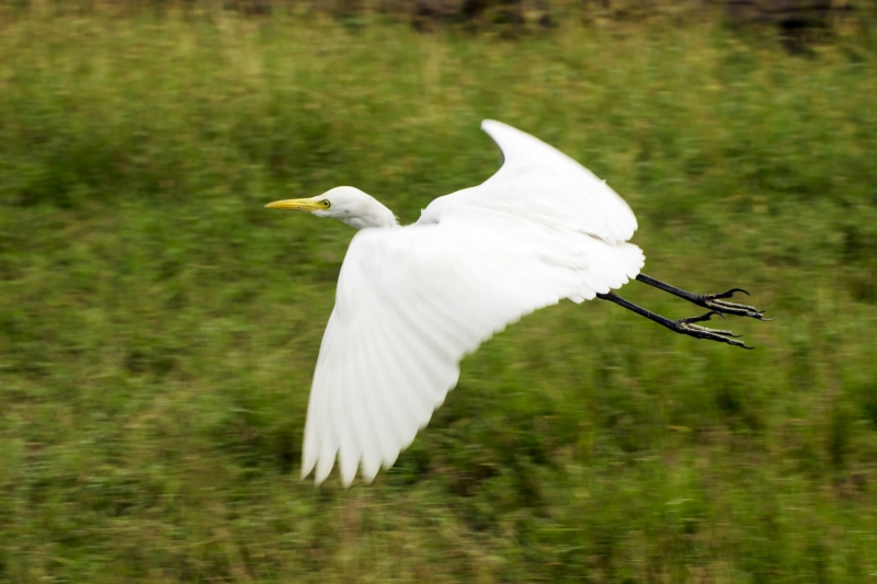 White Heron On The Fly