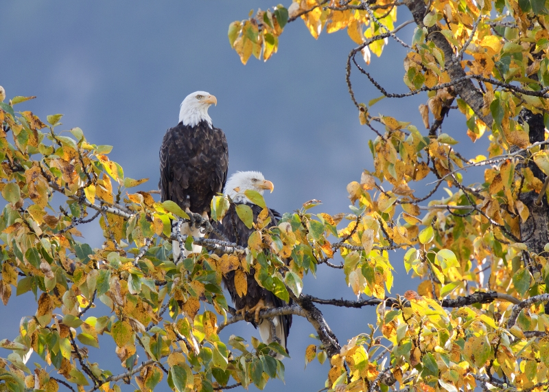 Eagle Pair In A Golden Tree